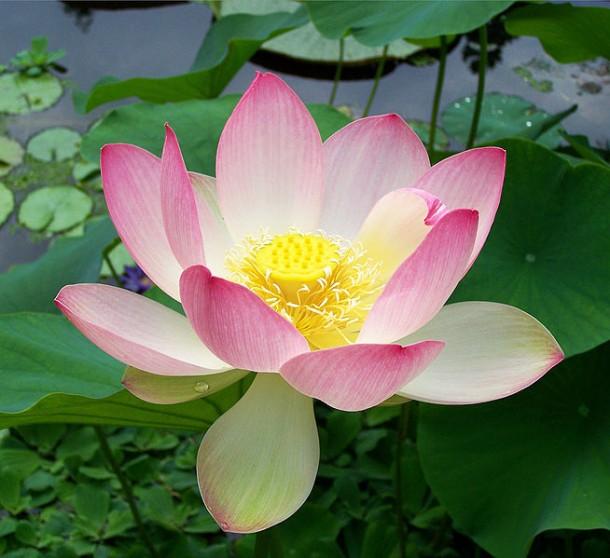 Sacred lotus Nelumbo nucifera by T.Voekler